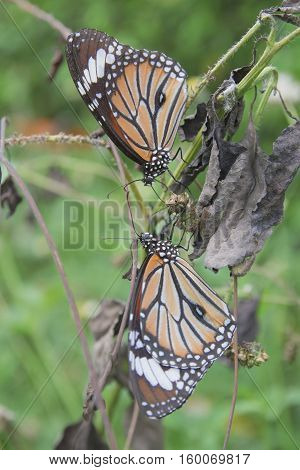 Monarch butterfly on a tropical plant. beautiful butterfly