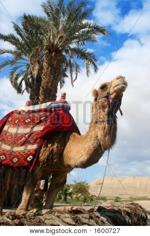 Camel And Palm Tree