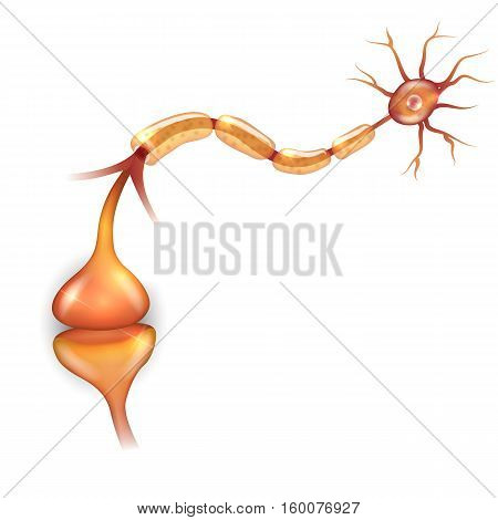 Neuronanatomy, it passes signal to another neuron