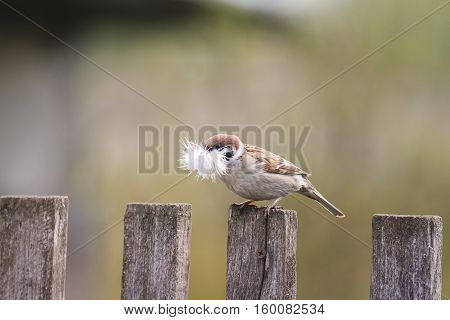 little bird Sparrow sitting on an old wooden fence with feather for nest in beak