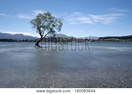 Alone tree on heavy wind at wanaka lake New Zealand