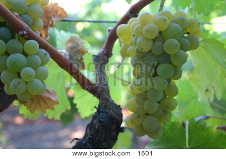 Wine Grapes Napa