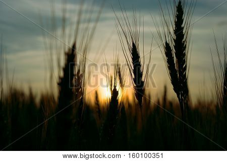 ear of rye on the field at sunset toning