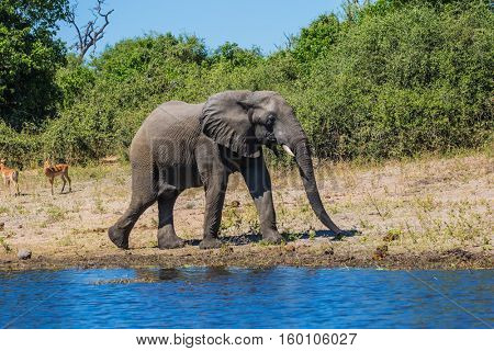 The concept of exotic tourism. Chobe National Park in Botswana. Watering African elephant in the Okavango Delta