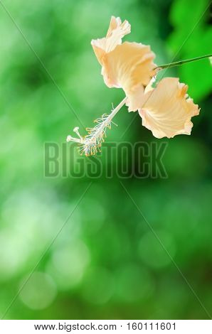 Hibiscus Flower In Garden On Nature Background