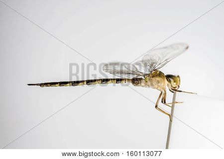 Macro of one dragonfly on white background.