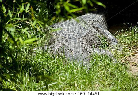 the American alligator is hiding in the long grass