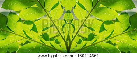 abstract background of green leaves sunlight shines Konjac leaves