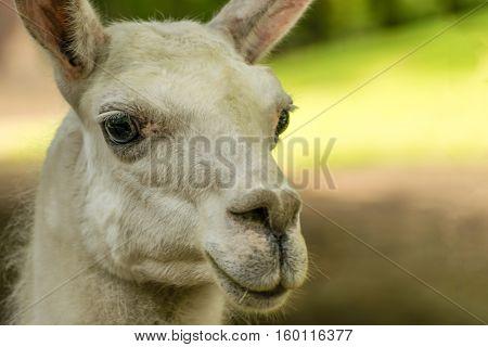 Portrait of white Lama guanicoe. Wild animal.