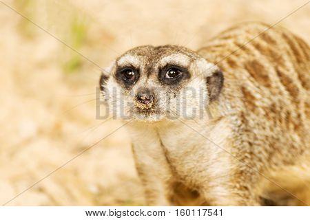 Portrait of Meerkat. Suricata suricatta. Wild animal