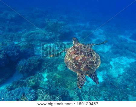 Sea turtle in blue water of tropical lagoon. Green turtle swimming underwater close photo. Wild animal of tropical sea.