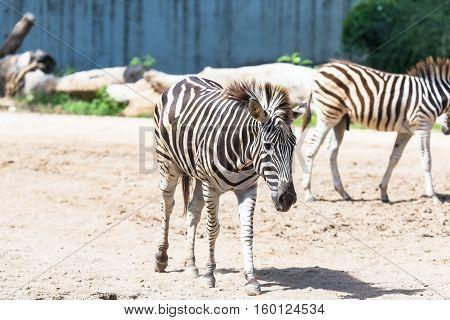 Zebras National Park in Kenya Africa Masai Mara