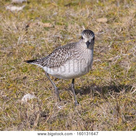 Black-bellied Plover (Pluvialis squatarola) in nonbreeding plumage foraging in the grass