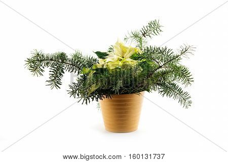 Potted Christmas poinsettia (Euphorbia pulcherrima) a symbolic flower with white bracts decorated with fir branches isolated on a white background
