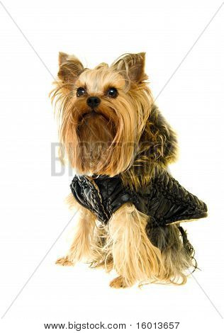 Yorkshire Terrier in a winter jacket isolated on a white background poster