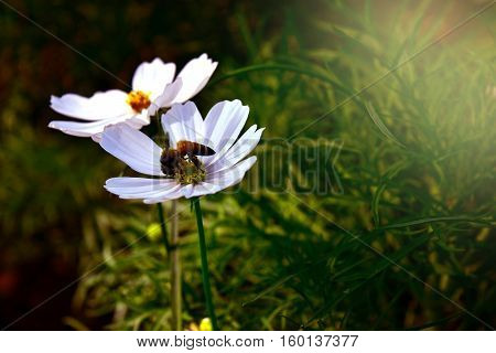 Bee collecting nectar from white flower alone ,soft focus and dark tone.