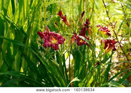 Beautiful red daylily flower in the garden in summer