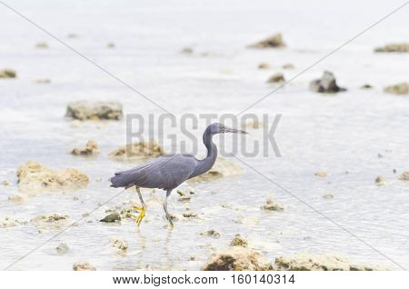 Pacific Reef Egret or Egretta sacra bird in the sea