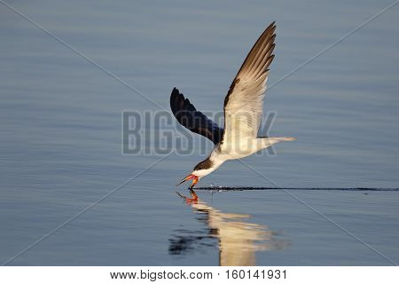 Black Skimmer (Rynchops niger) feeding in the Gulf of Mexico - Cedar Key Florida