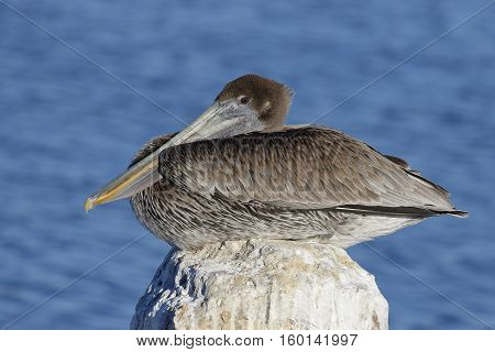 Immature Brown Pelican Perched On A Dock Piling - Cedar Key, Florida