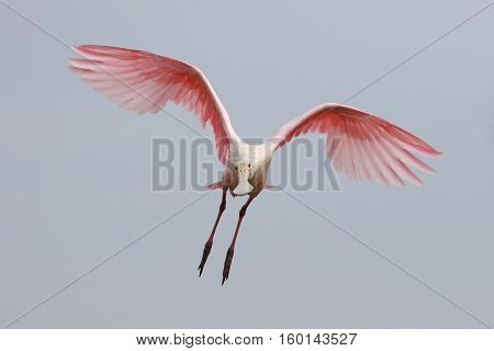 Roseate Spoonbill In Flight - Merritt Island Wildlife Refuge, Florida