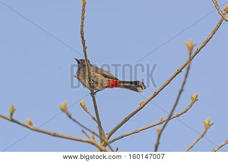 Red Vented Bulbul in a Tree in Kaziranga National Park in India