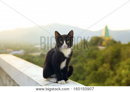 lovely thai black and white cat sitting on terrace against beautiful morning light