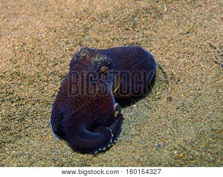 The surprising underwater world of the Bali basin, Island Bali, Puri Jati, octopus