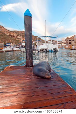 California Sea Lion on marina boat dock in Cabo San Lucas Baja Mexico
