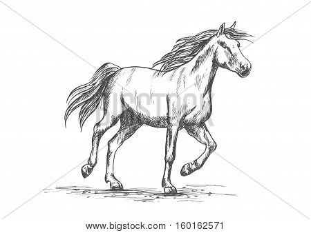 Arabian horse sketch of running racehorse. Purebred mare horse is playing on a pasture. Horse racing or riding club badge, equestrian sport theme design