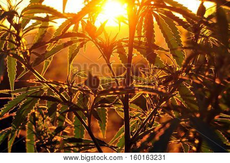Close up of cannabis plant back-lit by morning sun