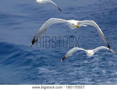 Seagulls soaring over the blue ocean surface
