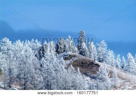 winter snow covered fir trees on mountainside on blue sky