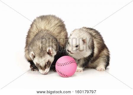 Ferret couple on white background posing for portrait in studio