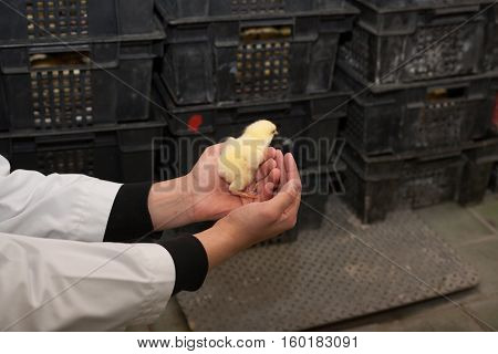 farmer holding a small chicken on his farm