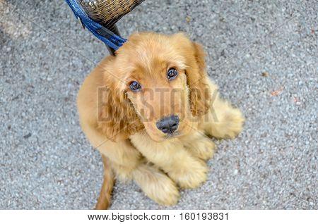 Portrait of sweet puppy British cocker spaniel