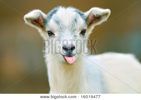 Funny Goat Puts Out Its Tongue