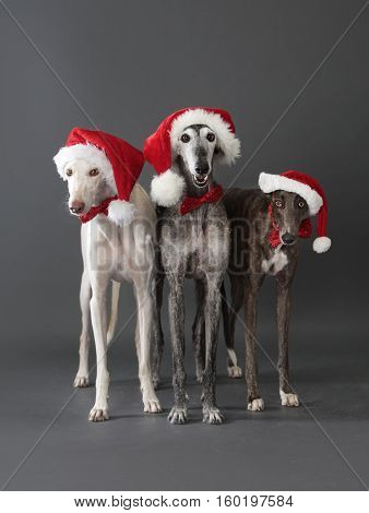 Three greyhounds grey and white in christmas dress with a hat