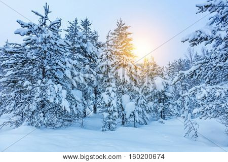 Winter frozen trees in forest - a lot of snow after blizzard, blue winter landscape background