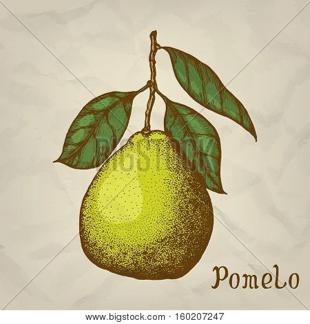 Pomelo. Vector hand drawn illustration. Pomelo icon, isolated
