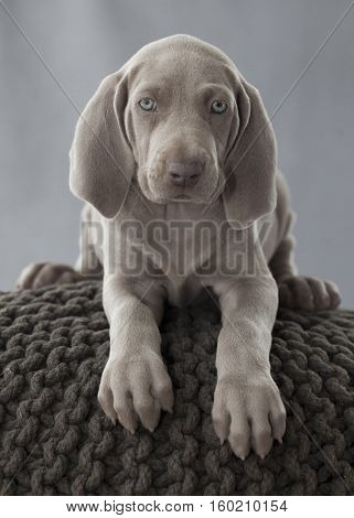 weimar braco puppy with blue eyes over grey pillow