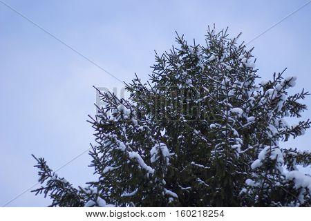 Fir Tree Covered Snow Close up under Winter Sky.