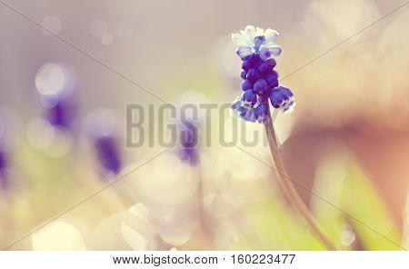 Blue spring flower of a muskari(grape hyacinth) lit with the sun.