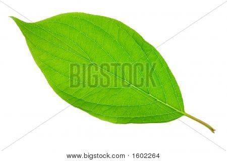 Bright Green Leaf