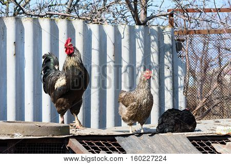 proud rooster and two hens enjoying the sun