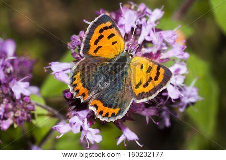 a beautiful copper butterfly on a purple flower