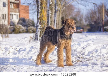 Dog Airedale Terrier on a snow in a sunny winter day