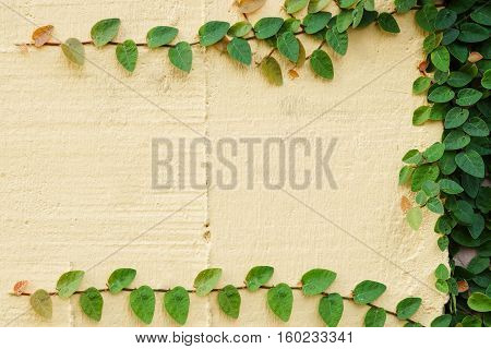 wood plank wall texture with green creeper plant / Ficus pumila L.