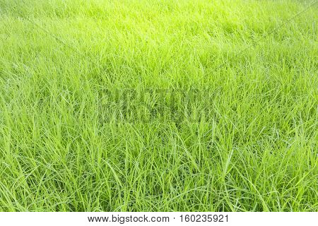 natural green grass as texture and background