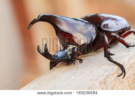 Rhinoceros beetle or Horn beetle, A bug in the subfamily Dynastinae.